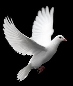 white_dove_in_flight